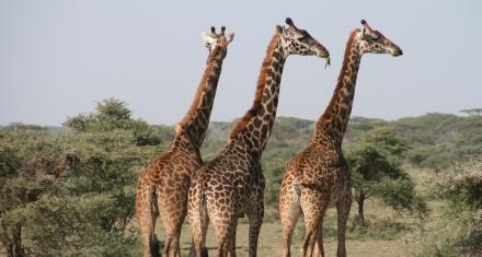 Debaten modificar los niveles de protección de especies como la jirafa, el elefante, el rinoceronte y reptiles