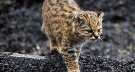Argentina: Captan en Neuquen a un gato huiña, especie amenazada y una de las mas pequeñas del mundo