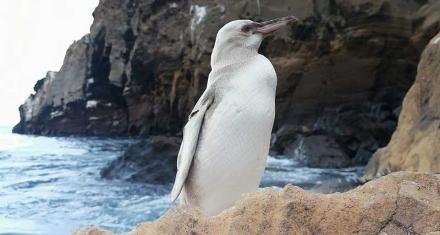 Avistan en Galápagos un pingüino con leucismo, inusual en estas aves marinas