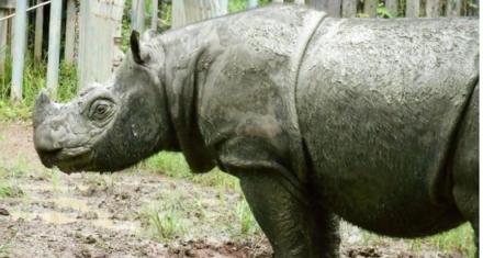 Malaysia's last male sumatran rhino has just died