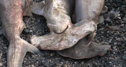 Centenar de crías del protegido tiburón martillo muertas en Hawai