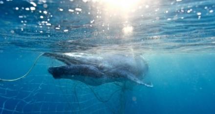 Australia: Cría de ballena rescatada de una red contra tiburones