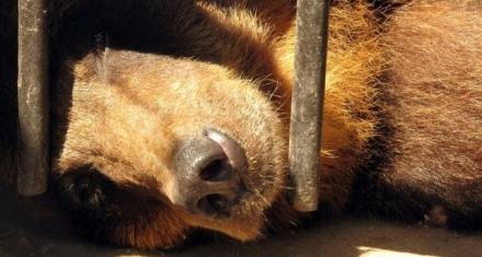 China: Promueven la bilis de oso como tratamiento para el COVID-19
