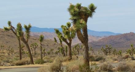 Los árboles de Josué podrían extinguirse para 2070 si no hay acción climática