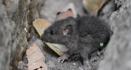 Una plaga sin precedentes en Australia: las ratas arrasaron los campos sembrados y contaminan al ganado