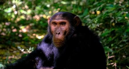 Los chimpancés al igual que los humanos, se unen ante las amenazas de otros grupos