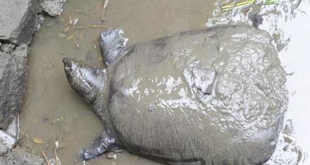 Muere una tortuga de la especie más amenazada del mundo