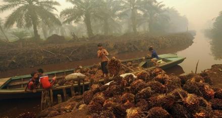 El chocolate que comemos puede estar matando orangutanes en Indonesia