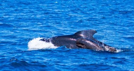 Japón capturo 177 ballenas durante la temporada estival de pesca de cetáceos.
