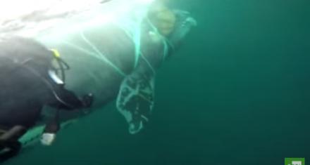 Armada chilena rescata a una ballena atrapada en una red de pesca