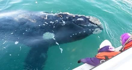 Más de mil ejemplares de la ballena Franca en Chubut