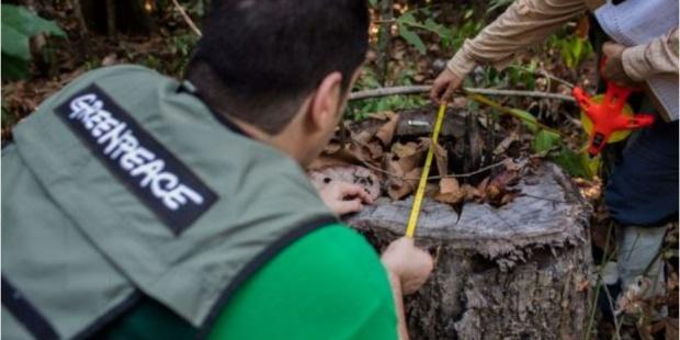 Greenpeace sobre la tala ilegal de IPE en la Amazonía. EFE/Greenpeace
