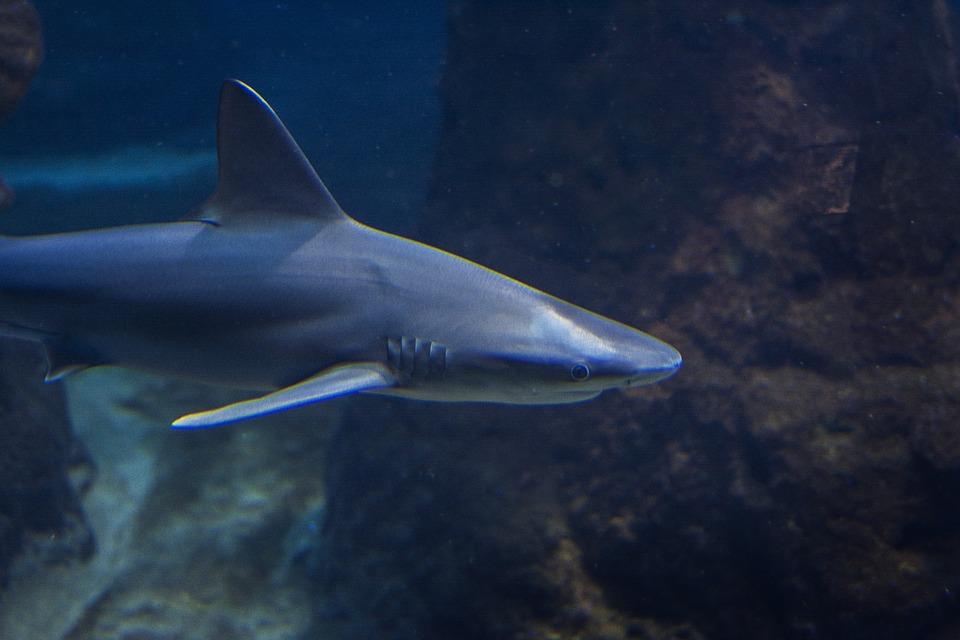 tiburoncin