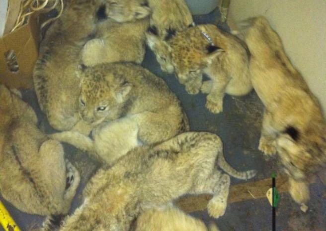 Crédito: Blood lions