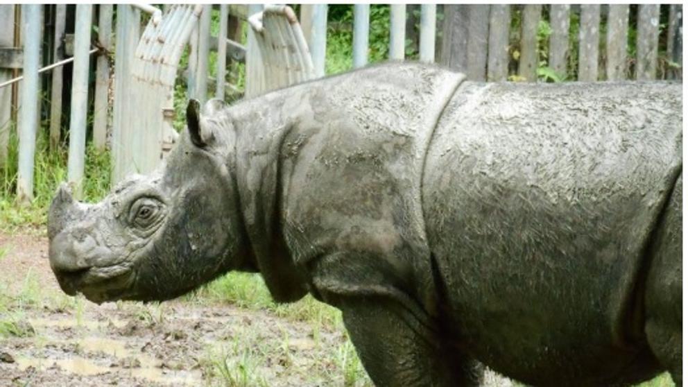 Crédito: Borneo Rhino Alliance