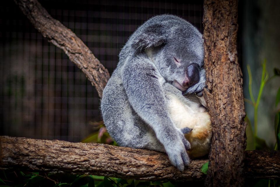 koaladurmiendo