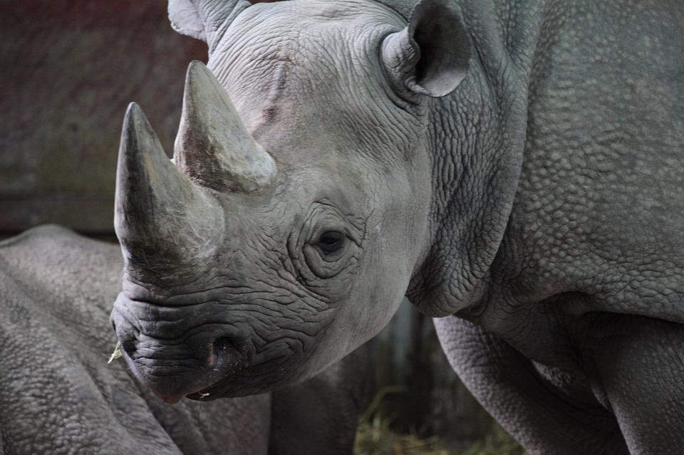 rinocerontenegro1