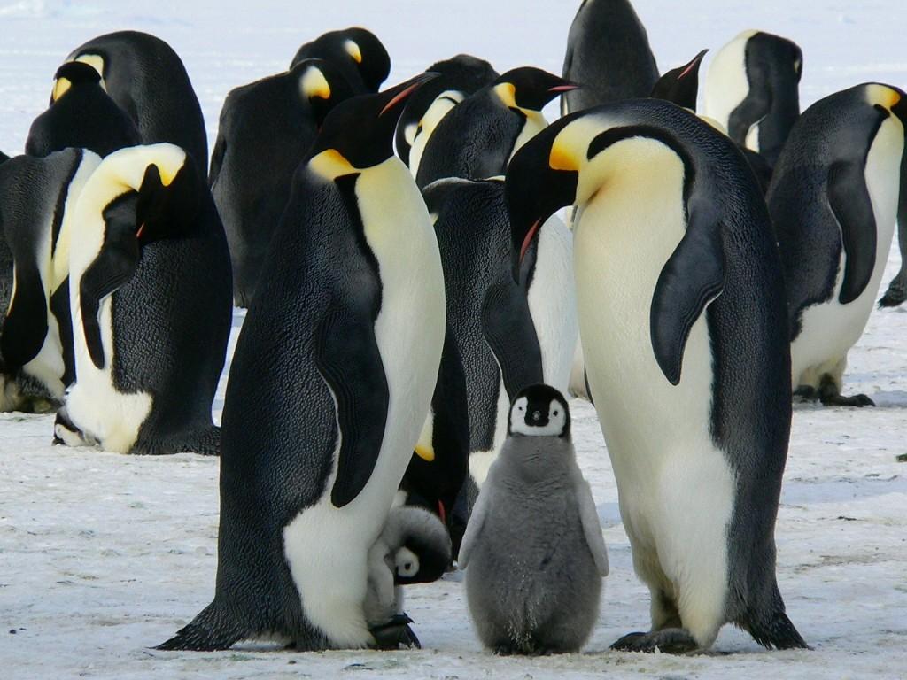 pinguinoemperador